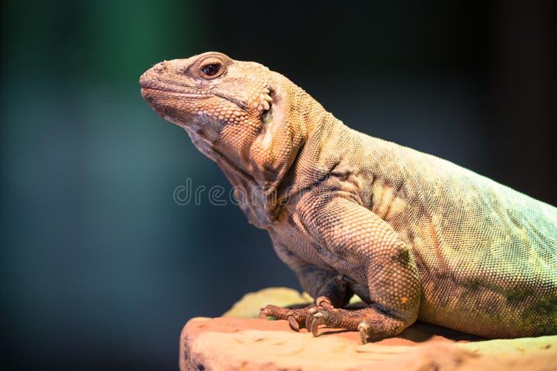 Chuckwalla蜥蜴坐岩石 免版税库存图片