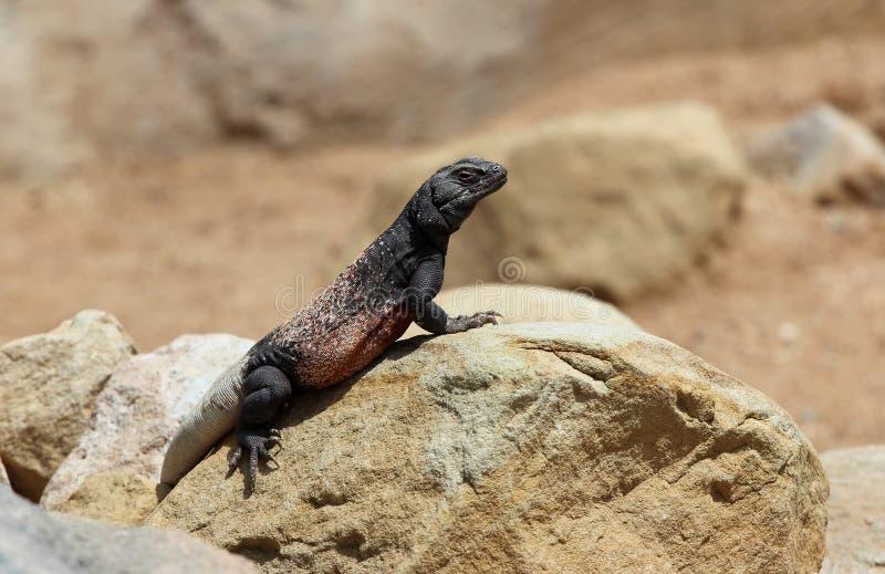 Chuckwalla (大型蜥蜴ater)在沙漠 库存图片