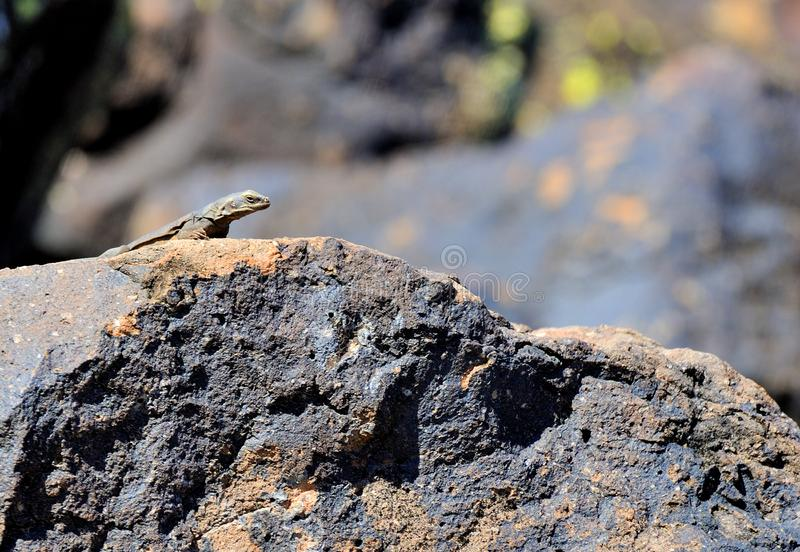 Chuckwalla che si siede sulla roccia del deserto immagini stock