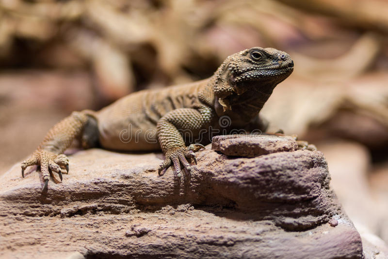 Chuckwalla lounging on rock. In Dutch zoo royalty free stock photography