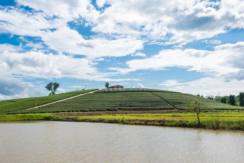 Chui Fong大阳台茶园早晨,美斯乐山,清莱,泰国 库存图片