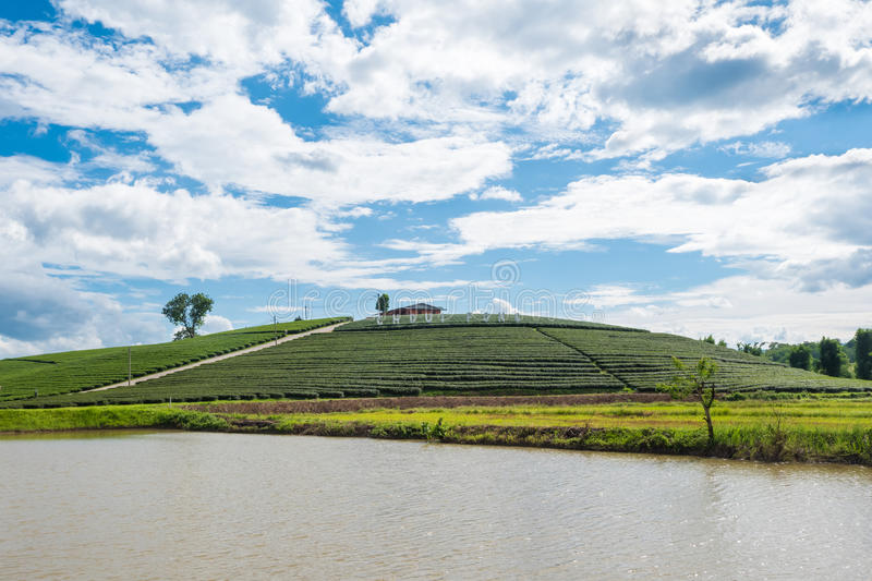Chui Fong Terrace Tea Plantation na manhã, Mae Salong Mountain, Chiang Rai, Tailândia imagem de stock