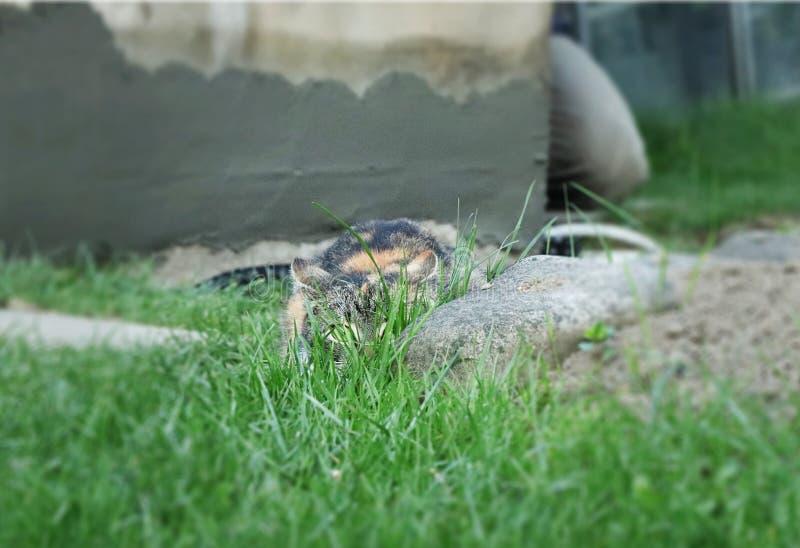 Chuje kot po środku obszaru trawiastego i czekać jej zdobycza Atak przychodzi zdjęcia royalty free