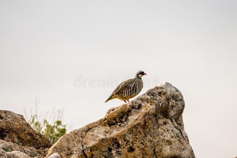Chukar, das auf einem Felsen steht stockfotografie