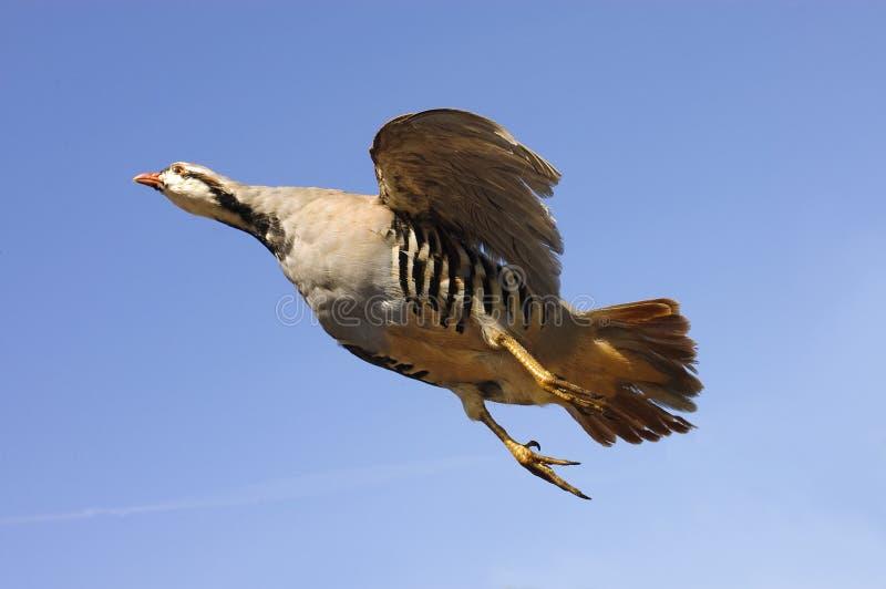 Chukar i flyg royaltyfri bild
