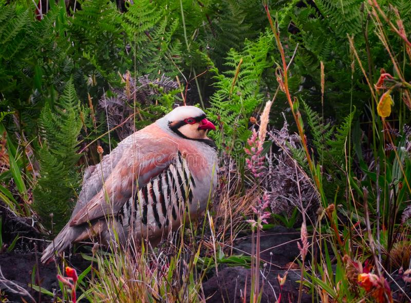 A Chukar Partridge in Maui, Hawaii royalty free stock image