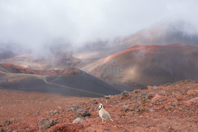 Chukarpatrijs in het Nationale Park van Haleakala royalty-vrije stock afbeeldingen