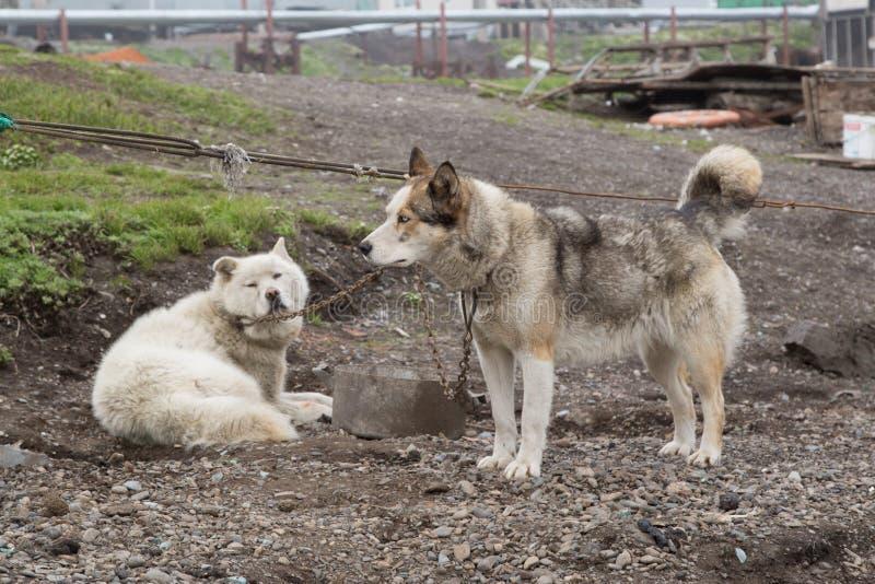 Chukchi husky sitting on a chain. Chukchi draught dogs sitting on a chain royalty free stock photo