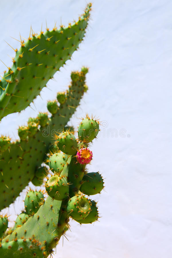 Chumbera胭脂仙人掌仙人球果子 图库摄影