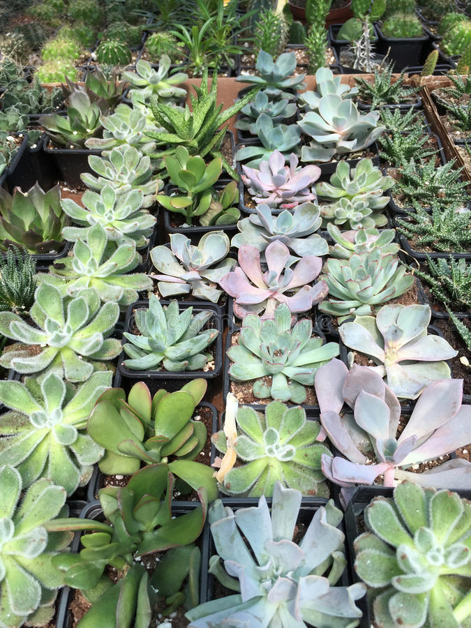 Chunky and formal succulents selling. At flower store royalty free stock images