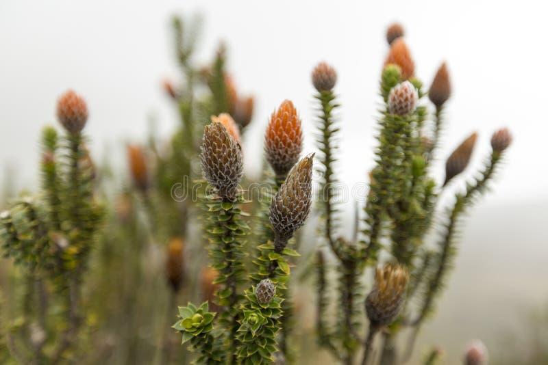 Chuquiragua växt NationalparkCayambe-Coca Ecuador arkivbild
