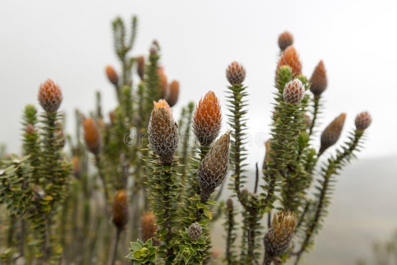 Chuquiragua växt NationalparkCayambe-Coca Ecuador arkivfoto
