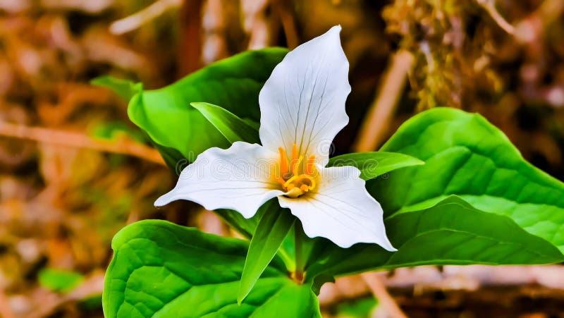 Chuquirahua Blume der Anden schließen oben stockbild