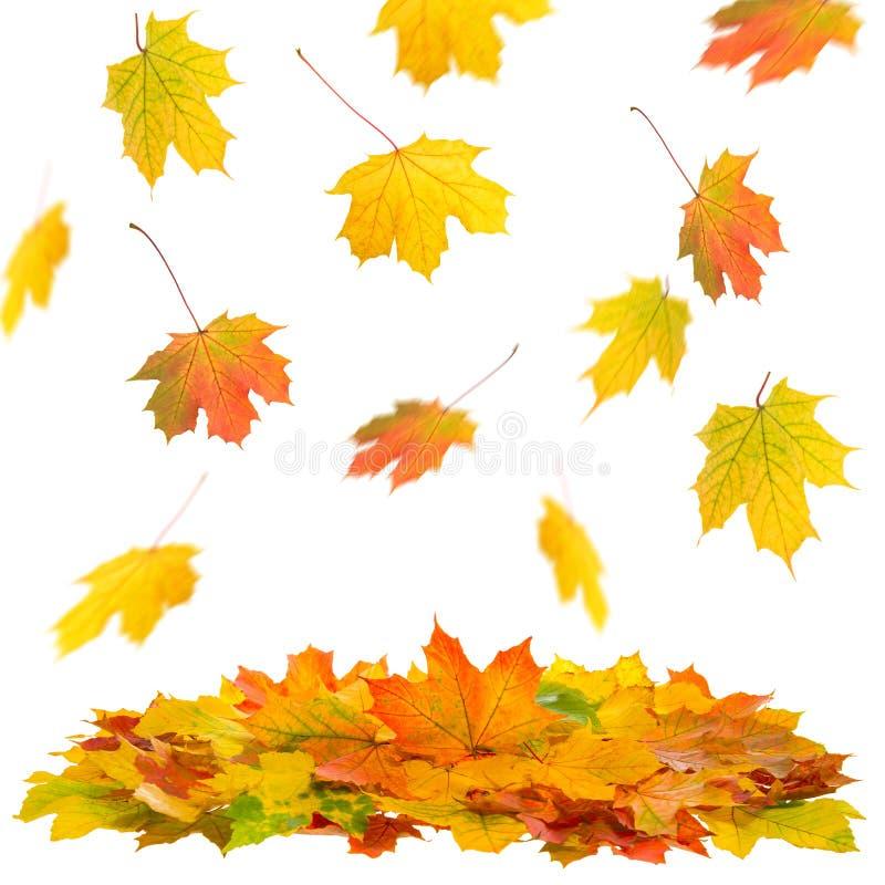 Chute blanche en baisse d'automne de fond de feuilles d'érable photographie stock