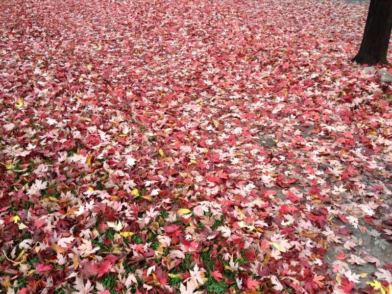 Chute - couverte dans des feuilles rouges image stock