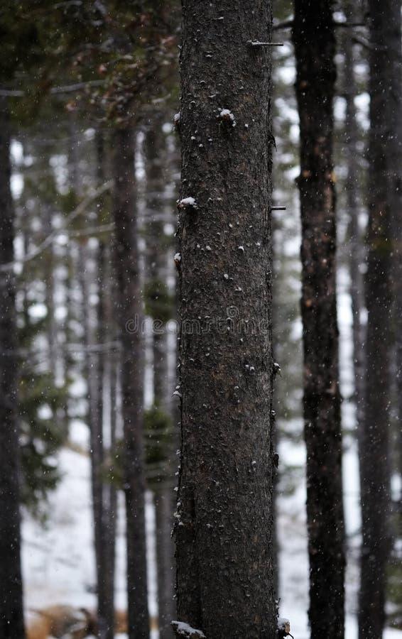 Chute de Forest During Snow d'hiver avec la chute de flocons de neige photo libre de droits