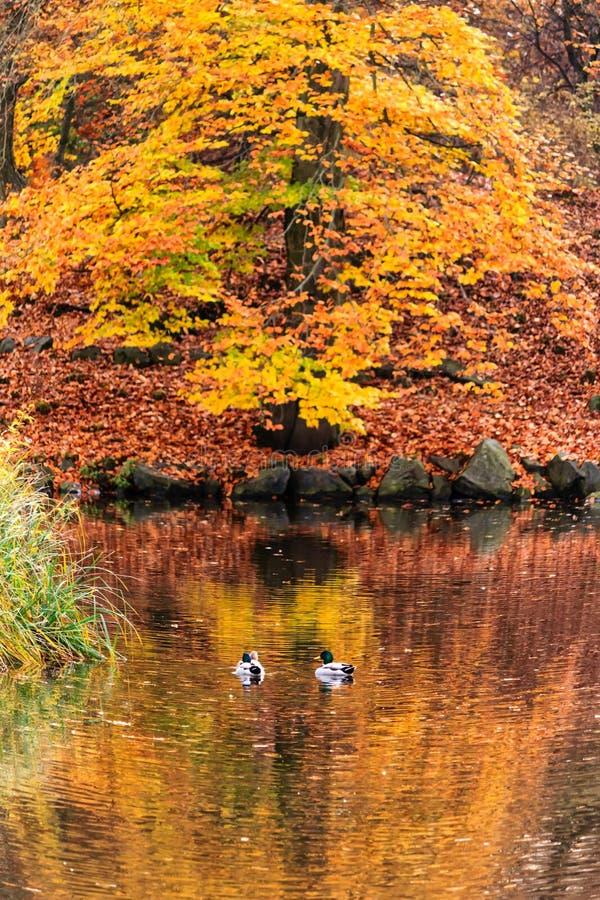 Chute en retard à l'étang de canard photos libres de droits