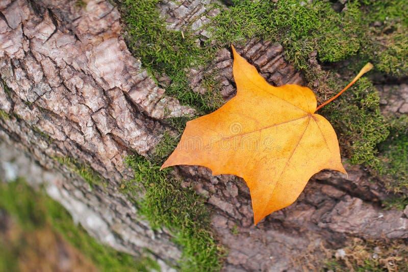 Chute jaune de feuille d'automne sur le fond naturel photos libres de droits