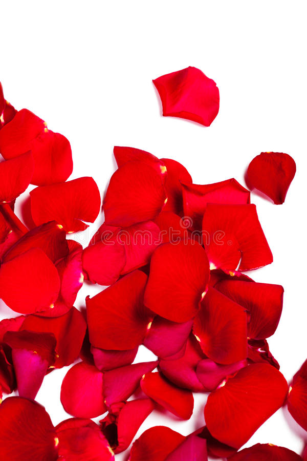 Chute rouge de pétales de rose d'isolement sur le fond blanc valentine images stock