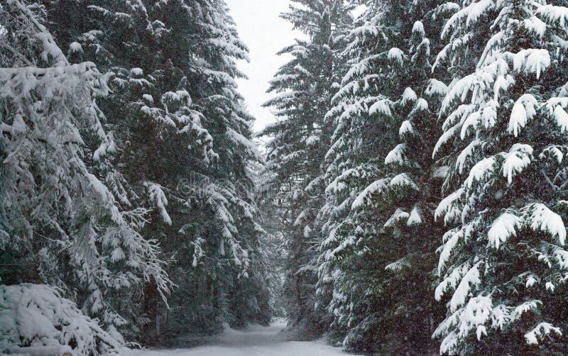 Chutes de neige de fureur dans les arbres de Milou de forêt de féerie d'hiver dans le paysage fabuleux d'hiver photos libres de droits