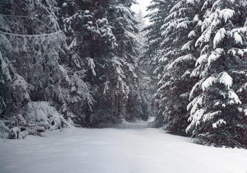 Chutes de neige de fureur dans les arbres de Milou de forêt de féerie d'hiver dans le paysage fabuleux d'hiver images stock