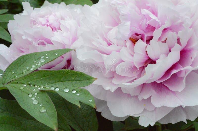 Chuva da flor do watter do orvalho da folha das gotas foto de stock
