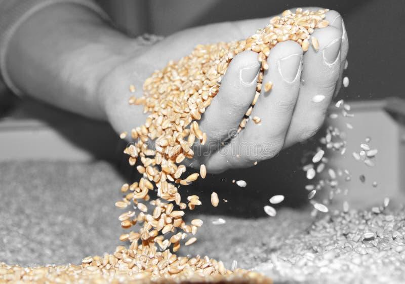 Chuva do trigo imagens de stock royalty free