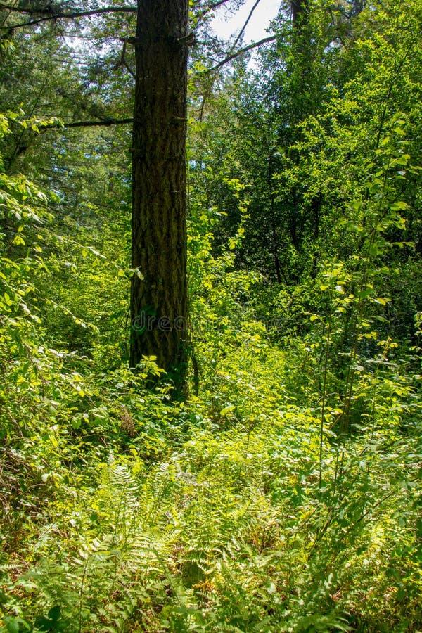 Chuva Forest Sunny Spring Afternoon da sequoia vermelha foto de stock