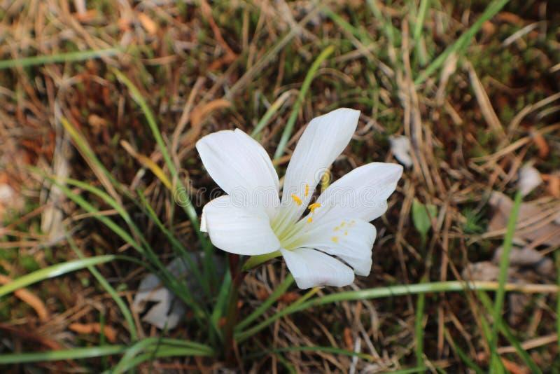 Chuva Lily Bloom imagem de stock royalty free