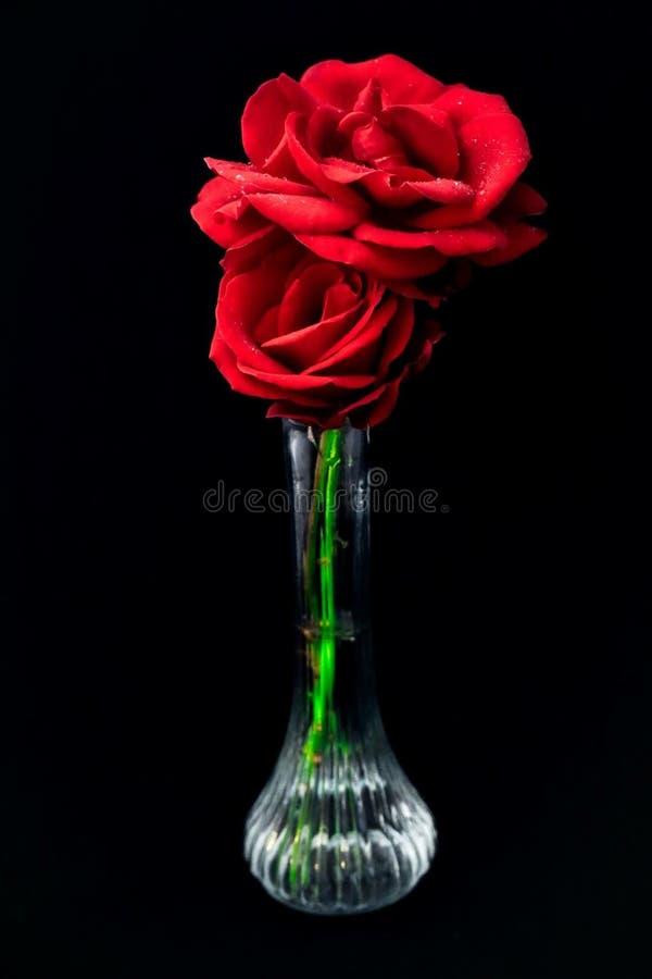 A chuva polvilhou o vaso das rosas vermelhas imagens de stock