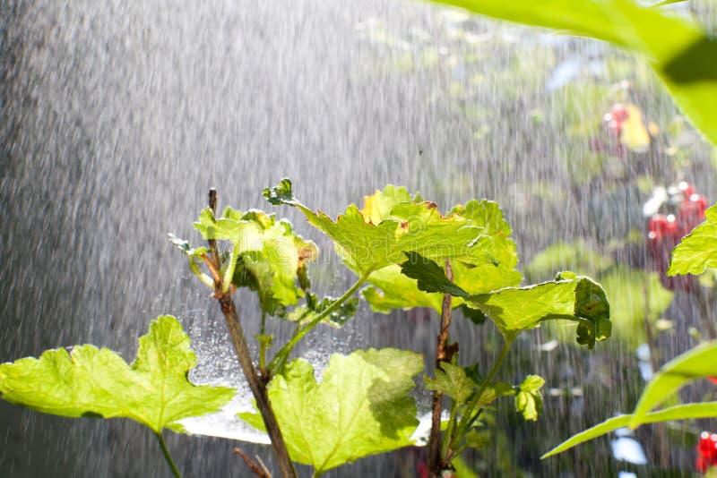 Chuva sobre o arbusto foto de stock
