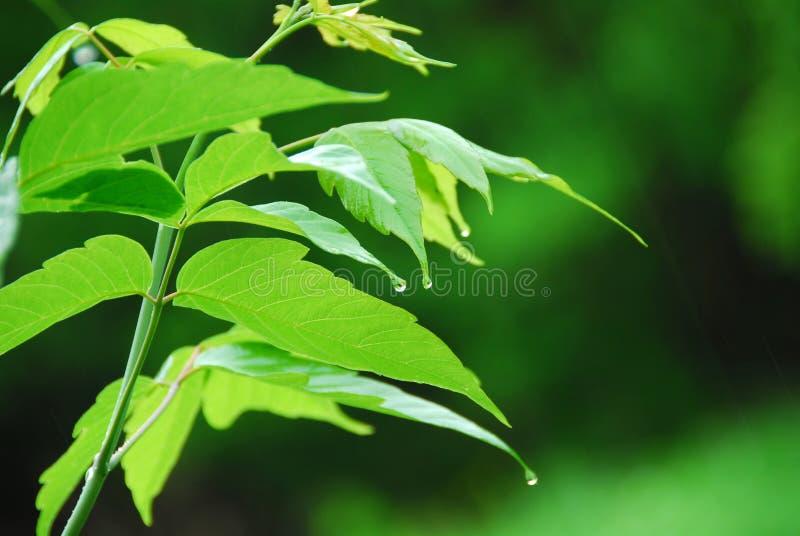Chuva verde da folha foto de stock royalty free