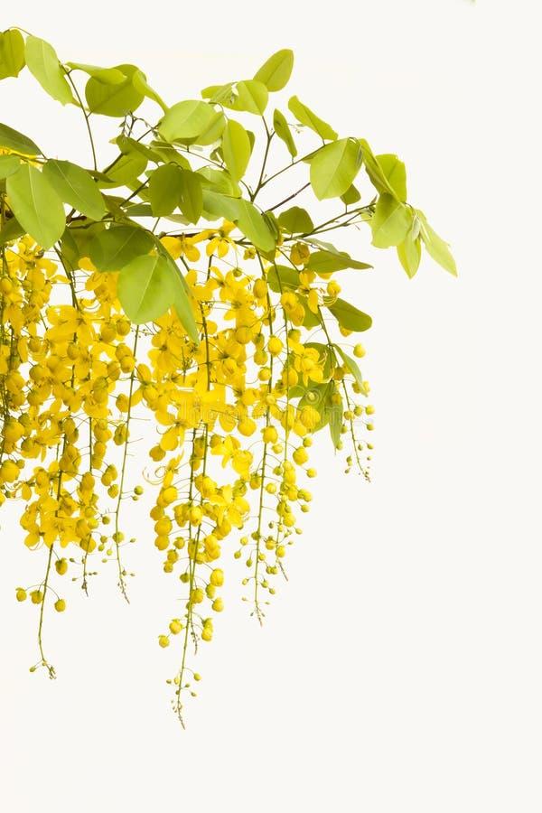 Chuveiro dourado amarelo, isolado da flor da fístula da cássia no CCB branco imagem de stock royalty free