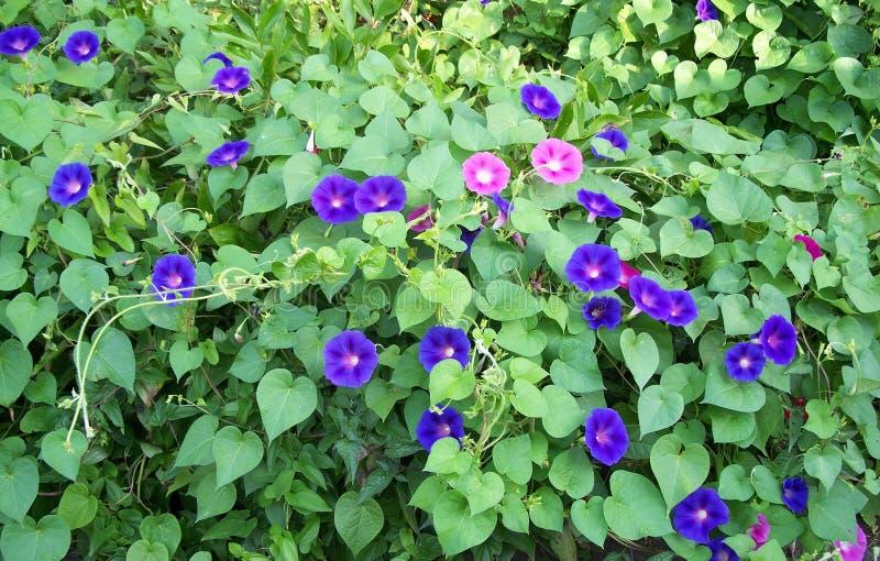 chwał ranek menchii purpury fotografia royalty free