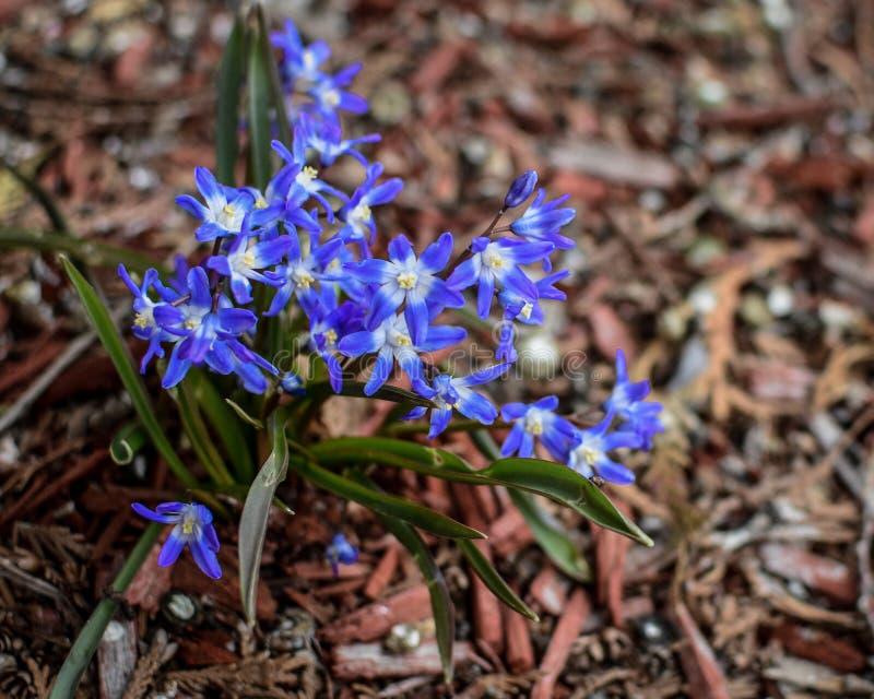 Chwała śnieg - kwiaty zdjęcie stock