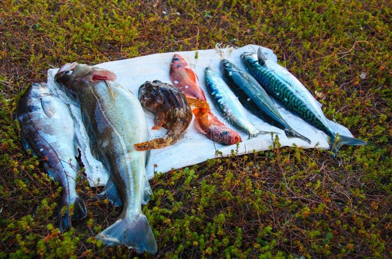 Chwyt w Barents morza Pesca, dorsz, szafranowy dorsz, denny bas, denny goby, ?led?, makrela zdjęcia royalty free