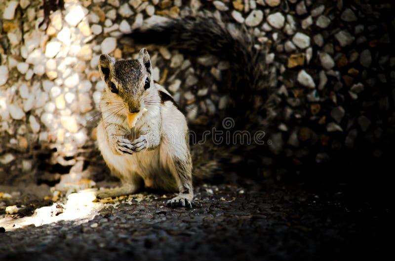 Chwytać wiewiórki obraz stock