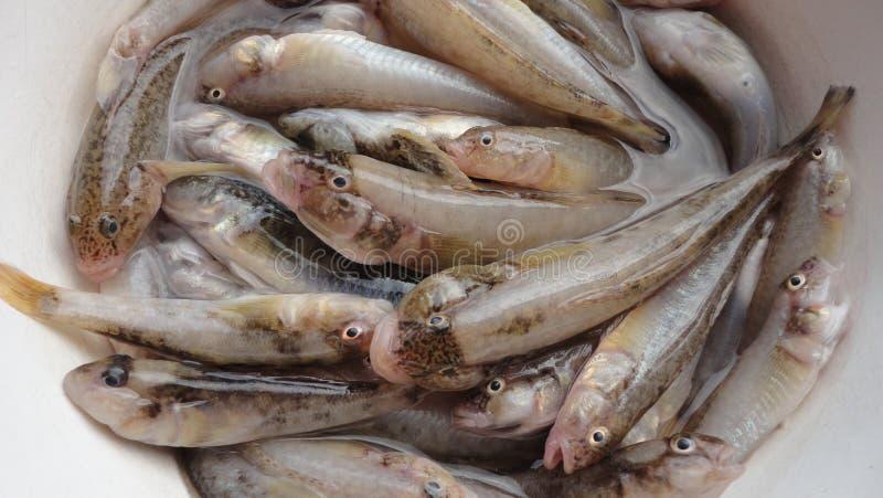 chwyta rybak s zdjęcia royalty free