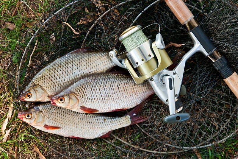 Chwytająca słodkowodna ryba i połowów prącia z połowem nawijamy fotografia stock