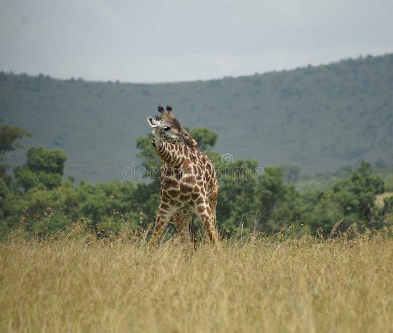 Chylenie żyrafa obraz royalty free