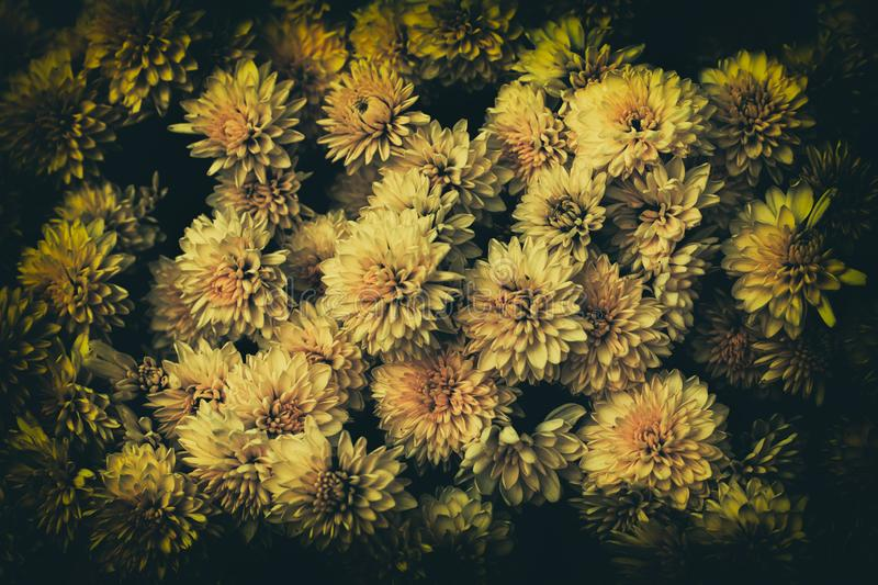 Chyrysanthemum in the garden. stock images
