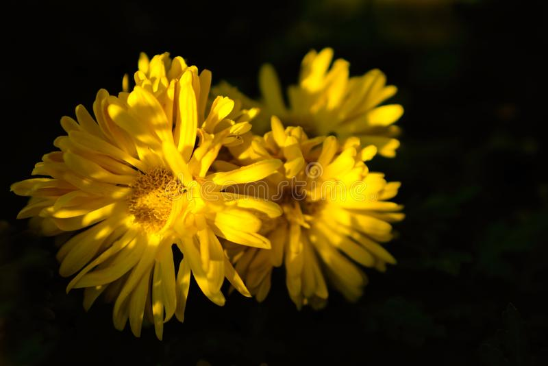 Chysanthemum in sole chiazzato fotografie stock
