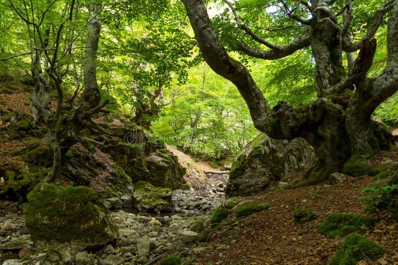 Ciñera bokträdskog, Leon, Spanien royaltyfria foton