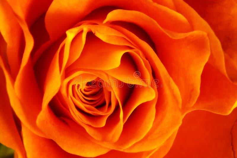 Ciérrese de naranja se alzó fotografía de archivo libre de regalías