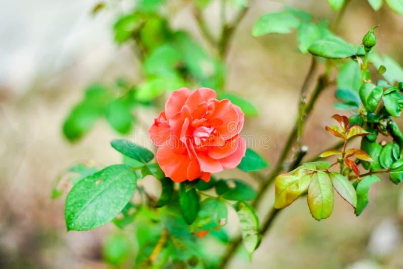 Ciérrese de un rojo hermoso se alzó en rama verde Rose y brote en jardín Fondo de las tarjetas del día de San Valentín imagen de archivo libre de regalías