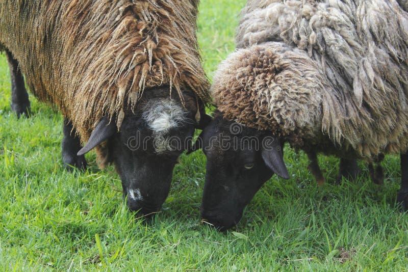 Ciérrese en dos ovejas fotografía de archivo