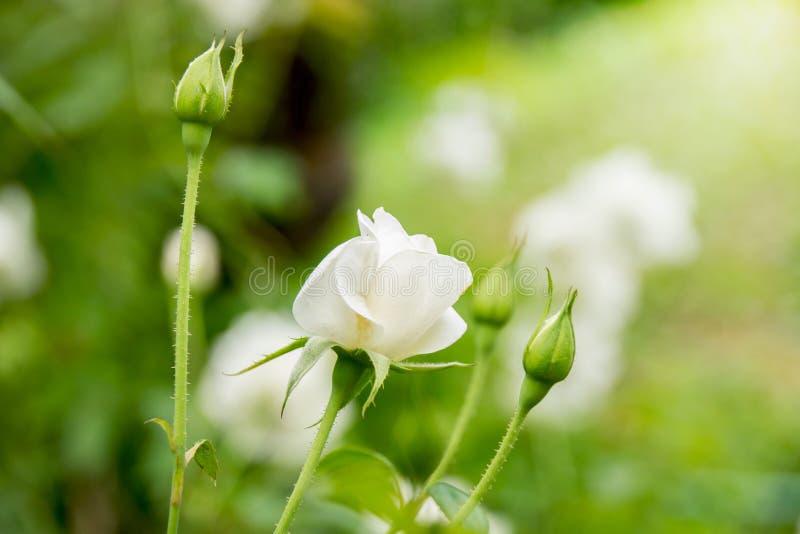 Ciérrese encima de árbol de la rosa blanca y del brote de Rose en jardín imagen de archivo