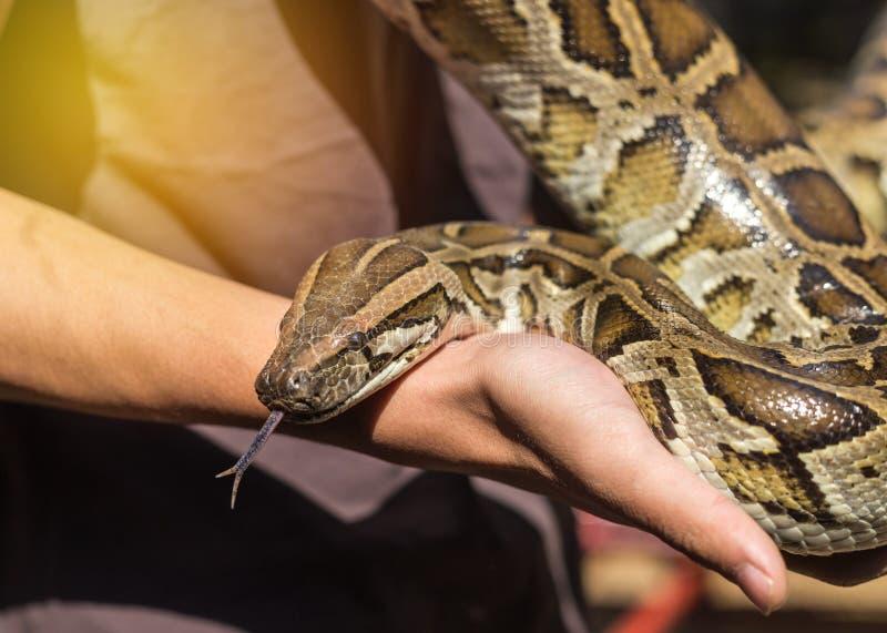 Ciérrese encima de bivittatus del pitón o de serpiente burmese del pitón fotos de archivo libres de regalías