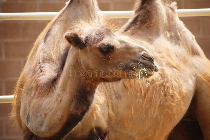 Ciérrese encima de camello de la chepa de bactriano dos con el vertimiento del pelo de la capa, masticando la hierba Bactrianus d foto de archivo libre de regalías