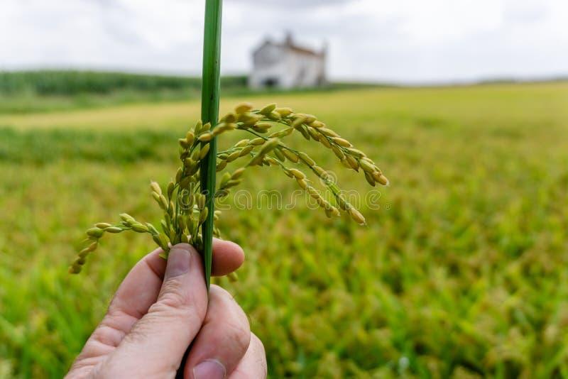 Ciérrese encima de campo del arroz de arroz foto de archivo